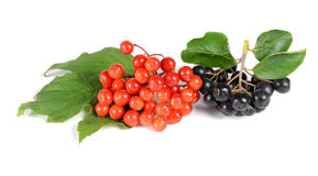 Black ashberry and red viburnum Royalty Free Stock Images