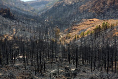 Black ashes of canary pine after forest fire at Teide Stock Photo
