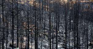 Black ashes of canary pine after forest fire at Teide Royalty Free Stock Photo