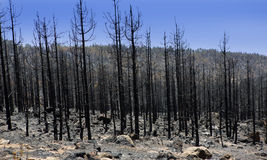 Black ashes of canary pine after forest fire at Teide royalty free stock image