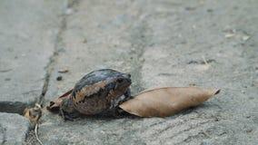 Frog sits under a green leaf. Black Asian bullfrog close up shot stock video