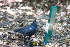 Black Australian Raven drinking water from tap. Black Australian Raven drinking water from tap Royalty Free Stock Images