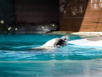 Black Australian sea lion swimming in a water pool. An Adorable Black Australian sea lion swimming in a water pool Royalty Free Stock Photography