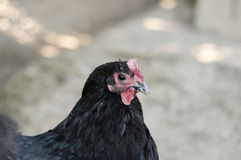 Black australorp hen Royalty Free Stock Photo