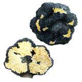 Black autumn truffles on white background - tuber uncinatum Stock Photos