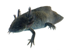 Black axolotl stock photos