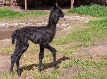 A Suri Alpaca in the Andes Mountains of Southern Peru. A Black Baby Alpaca in the Andes Mountains of Southern Peru stock image