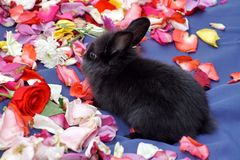 Bunny on rose petals. Black baby bunny on a bed of rose petals on a blue surface in Ecuador stock images