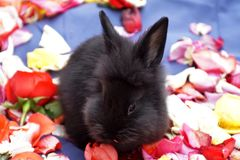 Bunny on rose petals royalty free stock image