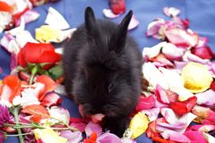 Bunny on rose petals stock images