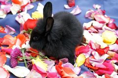 Bunny on rose petals. Black baby bunny on a bed of rose petals on a blue surface in Ecuador royalty free stock image