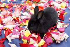 Bunny on rose petals. Black baby bunny on a bed of rose petals on a blue surface in Ecuador royalty free stock photo
