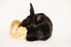 Black baby bunny and chick sleeping together Stock Images