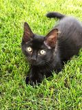 Black baby cat stock image