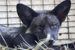 Black baby fox Royalty Free Stock Photo