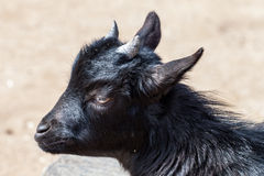 Black baby goat Stock Image