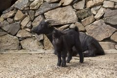 Black baby goat. Tiny black baby goat, seasonal farm scene Stock Photos