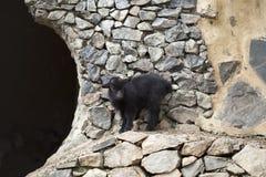 Black baby goat. Tiny black baby goat, seasonal farm scene stock photo