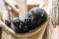 Black baby gorilla monkey lying in net stock photo