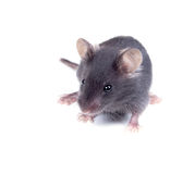 Black baby mouse on a white background Royalty Free Stock Photos