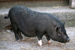 Black baby pig. On the barnyard Stock Images
