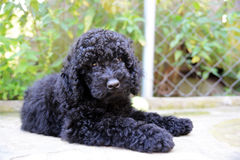 Black baby  Poodle Stock Photos