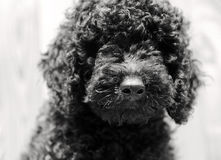 Black baby  Poodle Stock Photo