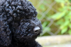 Black baby  Poodle Royalty Free Stock Photos