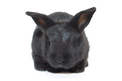 Black baby rabbit Stock Photos