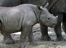Black Baby Rhino. Profile of a cute looking African black baby rhino stock images