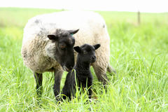 Black Baby Sheep with its Mother. In green grass Royalty Free Stock Photos