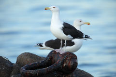 Black back gull. Stock Photos
