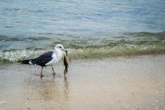 漫步在麦尔兹堡,佛罗里达的一只伟大的Black-backed鸥 免版税库存图片