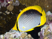 Black-backed butterflyfish Royalty Free Stock Images