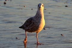 Black-backed first year gull curious Stock Photo