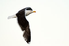 Black-backed Gull Royalty Free Stock Photos