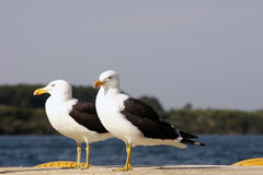 Black backed gull couple Stock Image