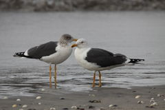Black-backed Gull Royalty Free Stock Photo