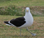 Black-backed gull walking in a park. This black-backed gull was looking for food in a park Royalty Free Stock Photography