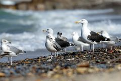 Black-backed gulls on the beach Royalty Free Stock Images