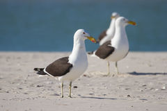 Black backed gulls sit and wait on sand bank Royalty Free Stock Photo