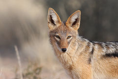 Black backed jackal Stock Photo