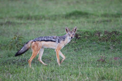 Black Backed Jackal. In the Masai Mara Kenya Stock Photography