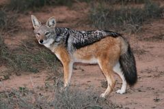 Black Backed Jackal. With beautiful fur and bushy tail Stock Photography