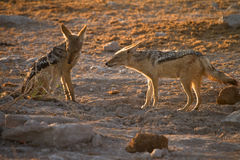 Black backed jackal Stock Images