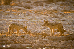 Black backed jackal Royalty Free Stock Photo