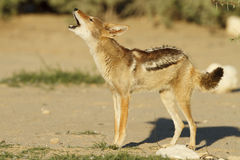 Black Backed Jackal. A Black Backed Jackal calling in the Kgalagadi Trans Frontier Park, South Africa stock photography