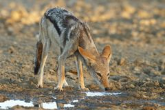 Black Backed Jackal Stock Photography