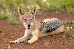 Black-backed jackal. A black-backed jackal lying on the ground with ears erect Royalty Free Stock Photos
