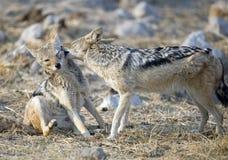 Black backed jackal. Etosha National Park Namibia, Africa ,black backed jackal playing stock photos